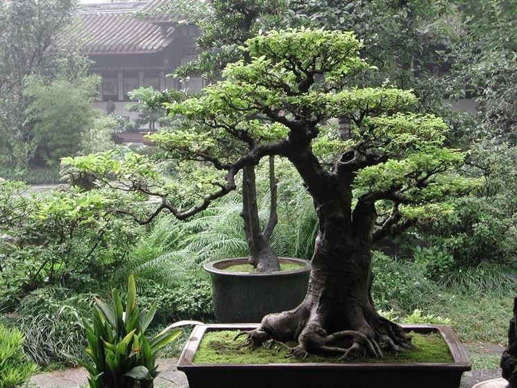 splendido bonsai