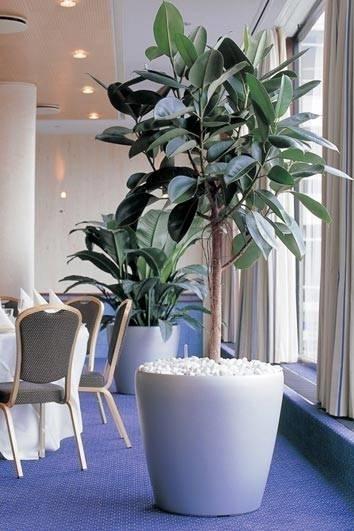 Piante Da Appartamento Ficus : Ficus robusta