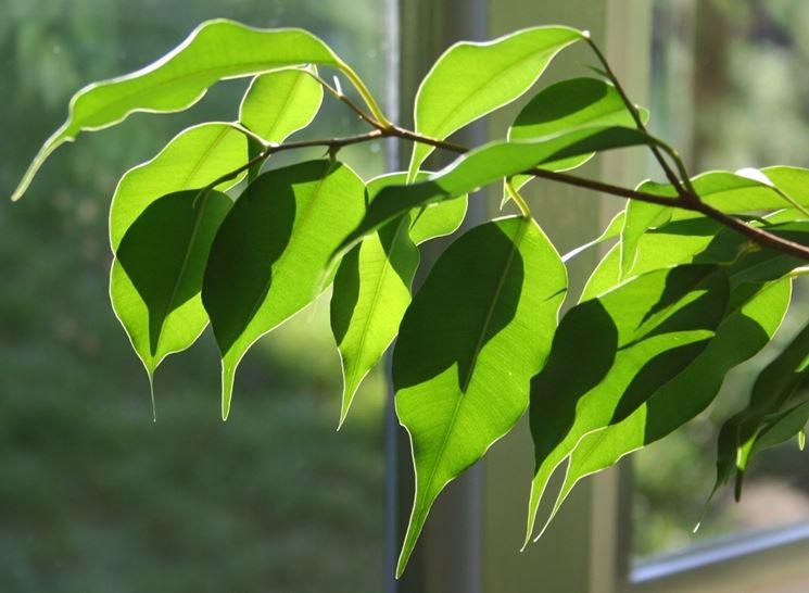 Ficus in casa