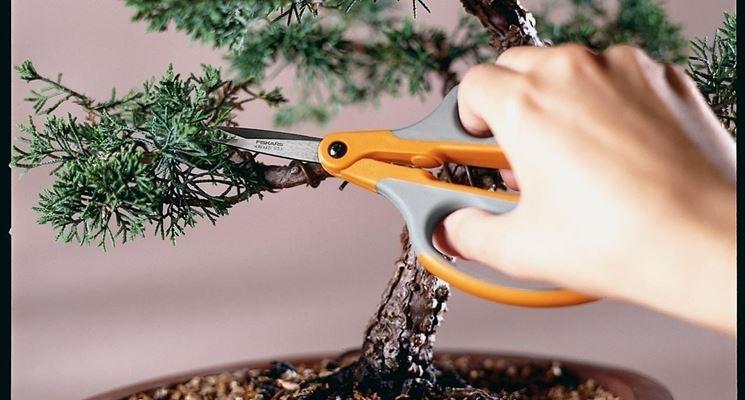 Potatura di un bonsai