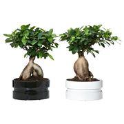 potatura bonsai ficus