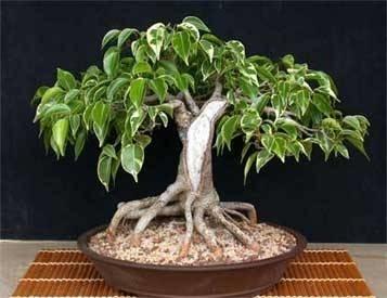 potatura bonsai ficus ficus. Black Bedroom Furniture Sets. Home Design Ideas