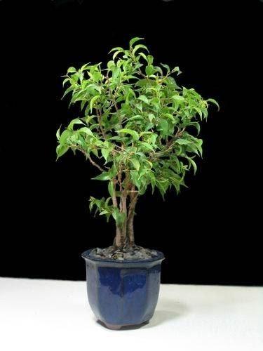 Potatura Ficus Benjamin