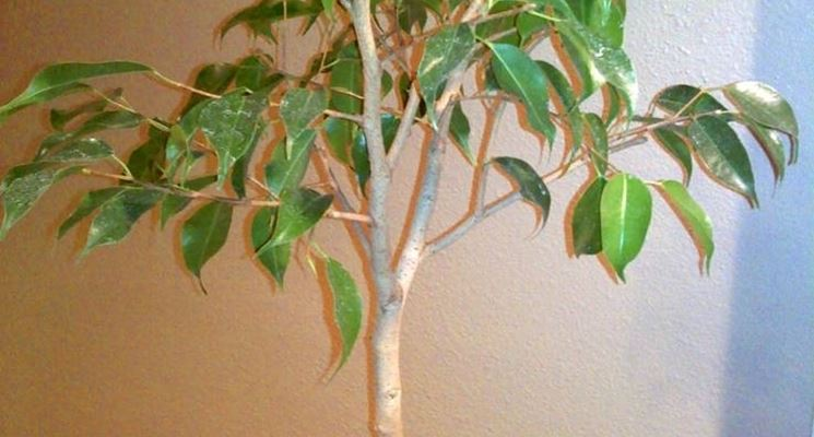 Potatura Ficus Benjamin Ficus