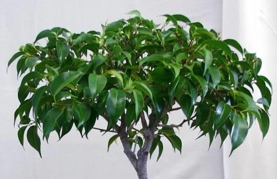 Awesome Ficus Benjamin