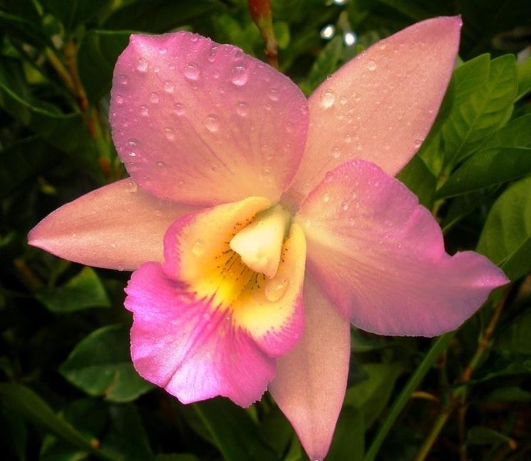 Fiore Cattleya