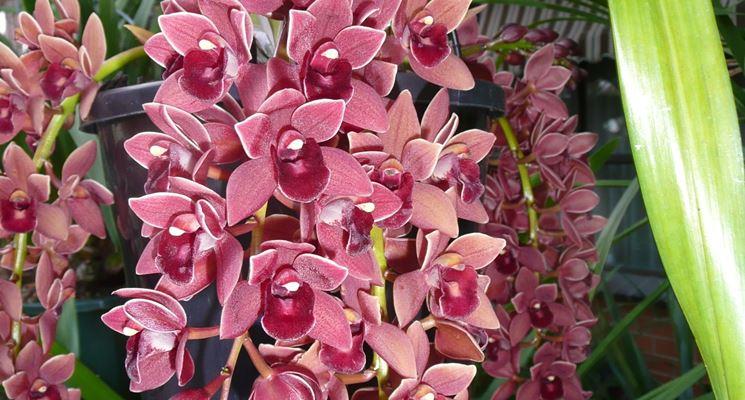 Cymbidium con fiori a