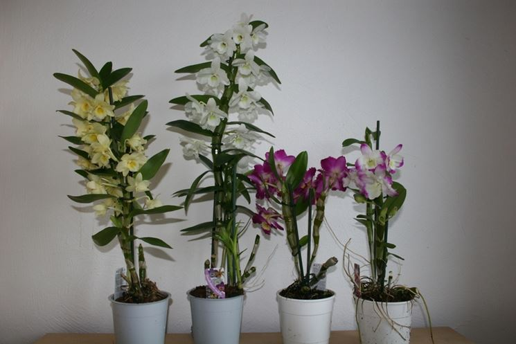 varietà dendrobium