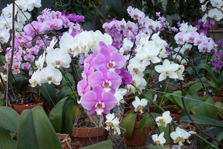 Bellissima fioritura di orchidee Phalaenopsis