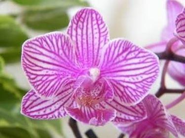 I fiori di orchidea orchidee for Semi orchidea