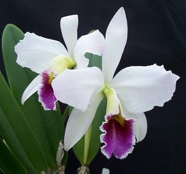 orchidea in salute