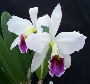 orchidea in salute