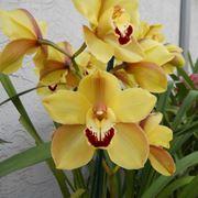 orchidee cymbidium