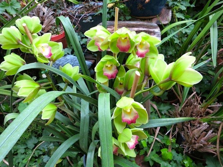 Le foglie delle orchidee orchidee come riconoscere i segni sulle foglie delle orchidee - Orchidee da esterno ...