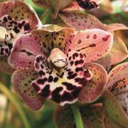 orchidea foglie gialle