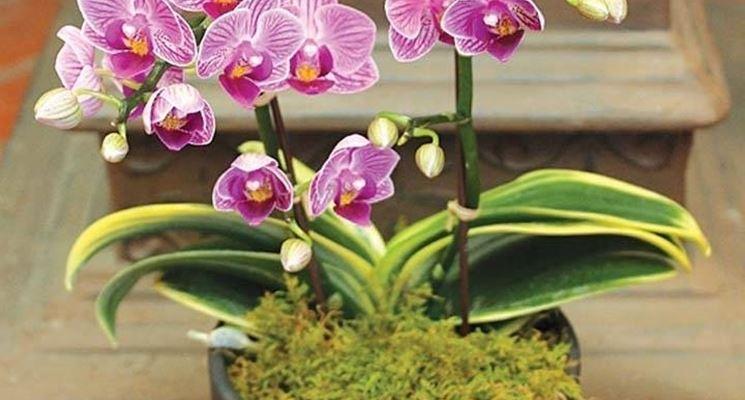 Mini orchidea nel suo vaso