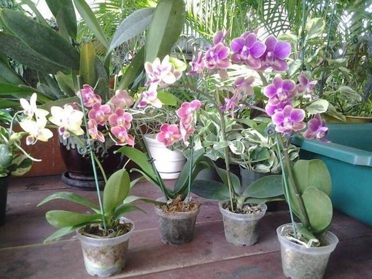 Mini orchidee: belle e delicate
