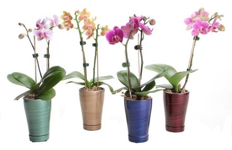Mini orchidee in fiore
