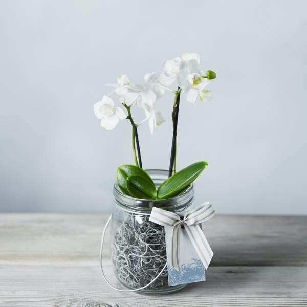 Mini orchidee - Orchidee - Coltivare le mini orchidee