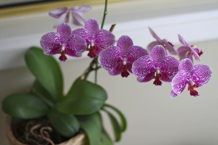 Riprodurre orchidee