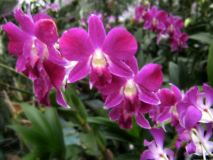 Moltiplicazione orchidee