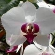 keiki orchidee