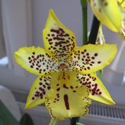 cambria orchidee