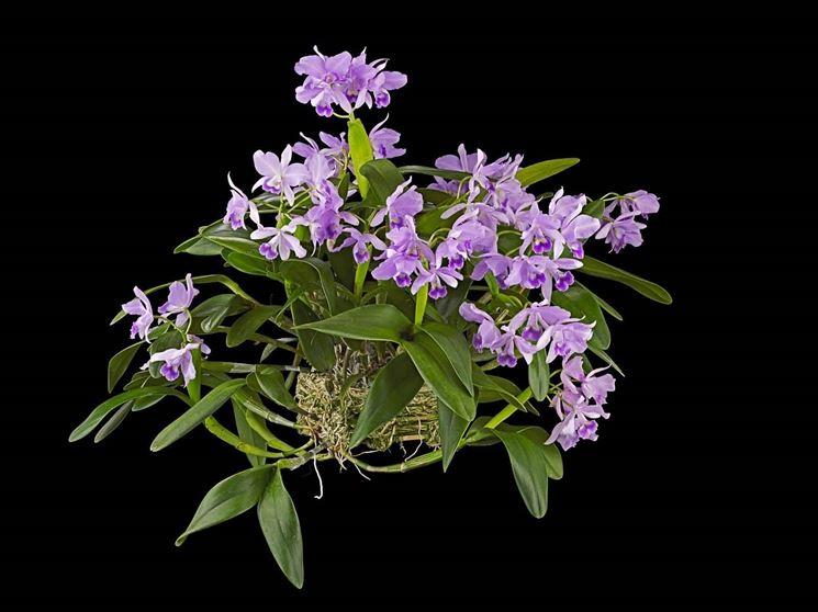 orchidea cattleya