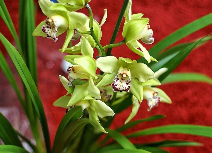 Orchidea cura orchidee come curare l 39 orchidea - Orchidea da esterno cymbidium ...