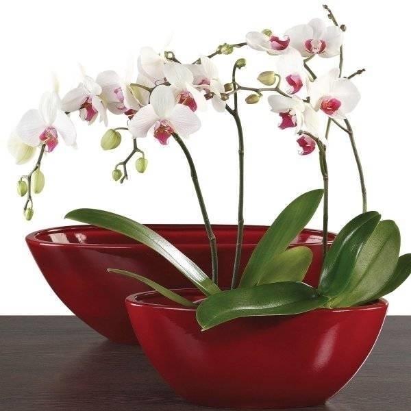 Orchidea cura orchidee come curare l 39 orchidea for Cura orchidee in vaso
