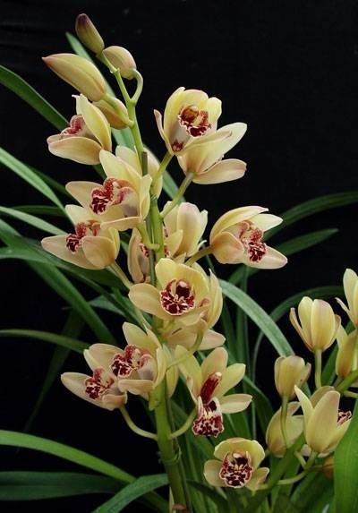 Orchidea cymbidium orchidee for Semi orchidea