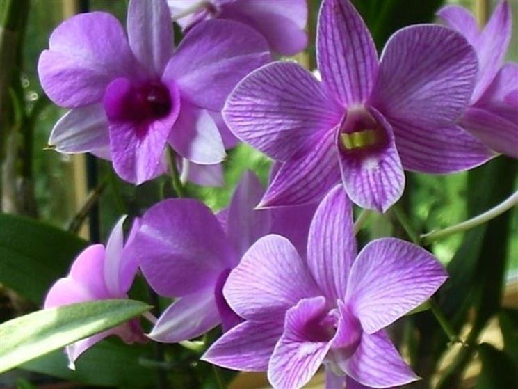 Fiori di Dendrobium Phalaenopsis