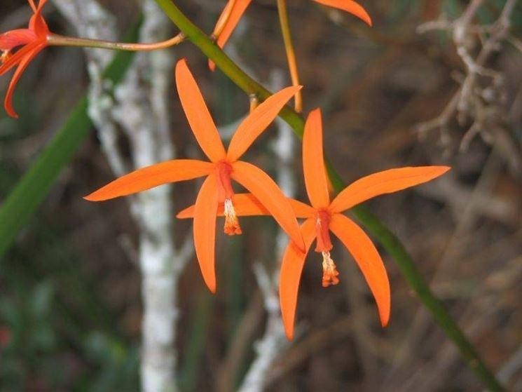 Orchidea laelia