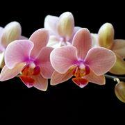 Fiori Orchidee Phalaenopsis