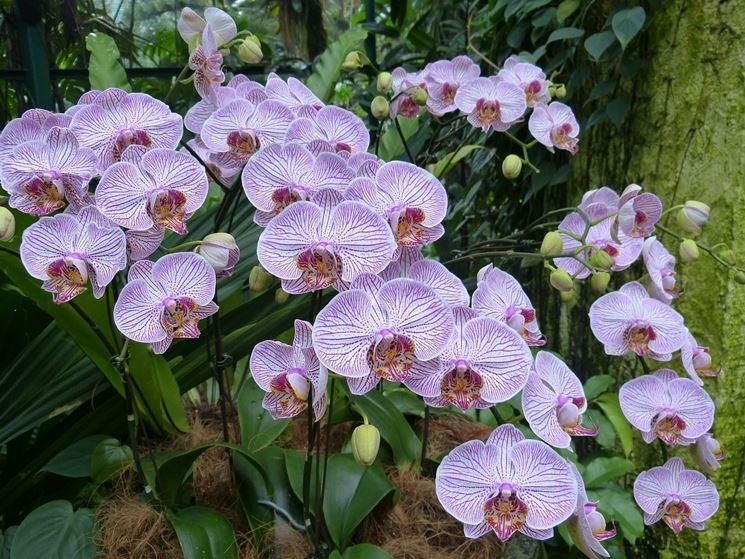 Meravigliose orchidee screziate