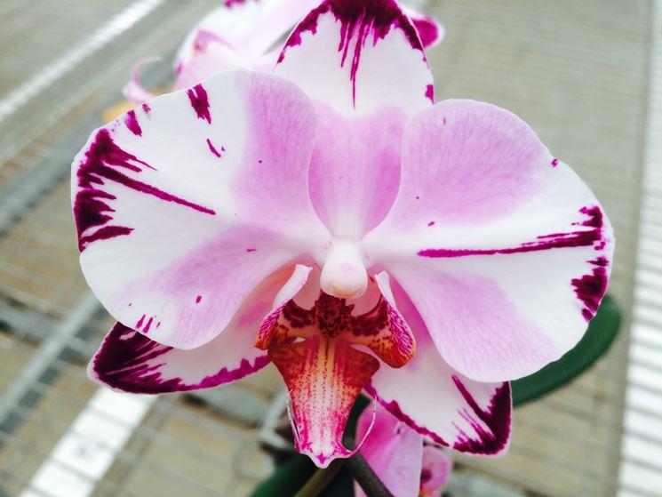Orchidea da vicino