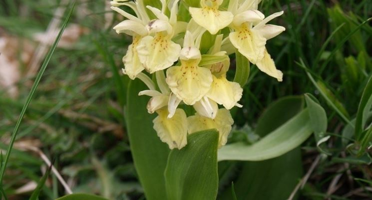 Orchidea selvatica del Monte Antola