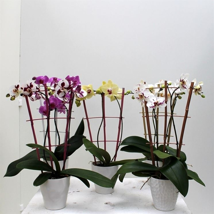 Orchidee coltivate in vaso
