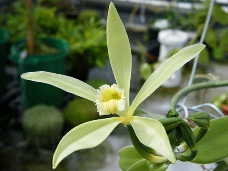 I fiori dell'orchidea Vaniglia