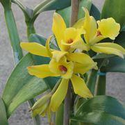 orchidea vaniglia