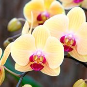 Germogli di orchidea