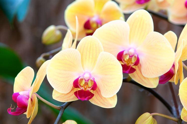 Orchidea orchidee curare l 39 orchidea - Orchidee da appartamento ...
