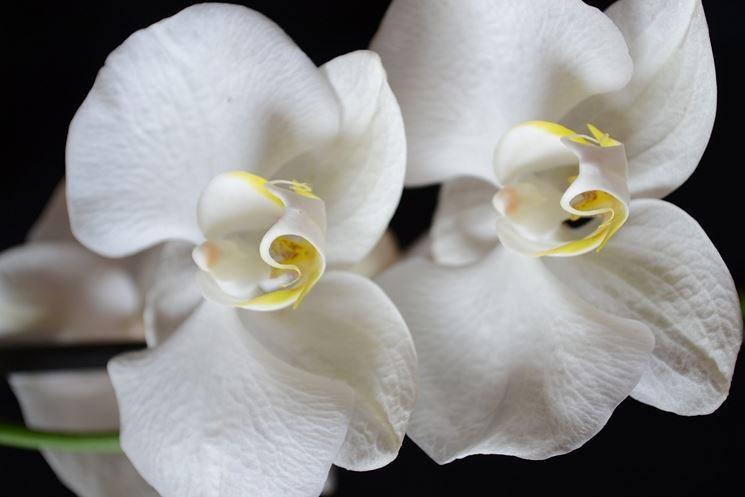 Esemplare di orchidea bianca