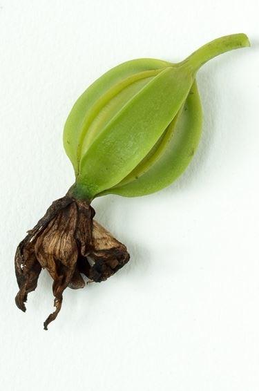 Frutto acerbo di orchidea Cattleya