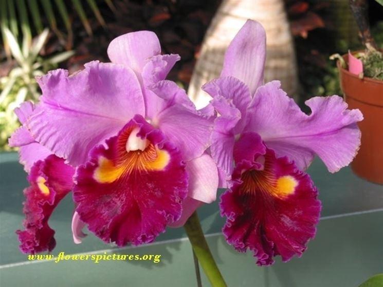 Variopinti fiori di orchidea cattleya