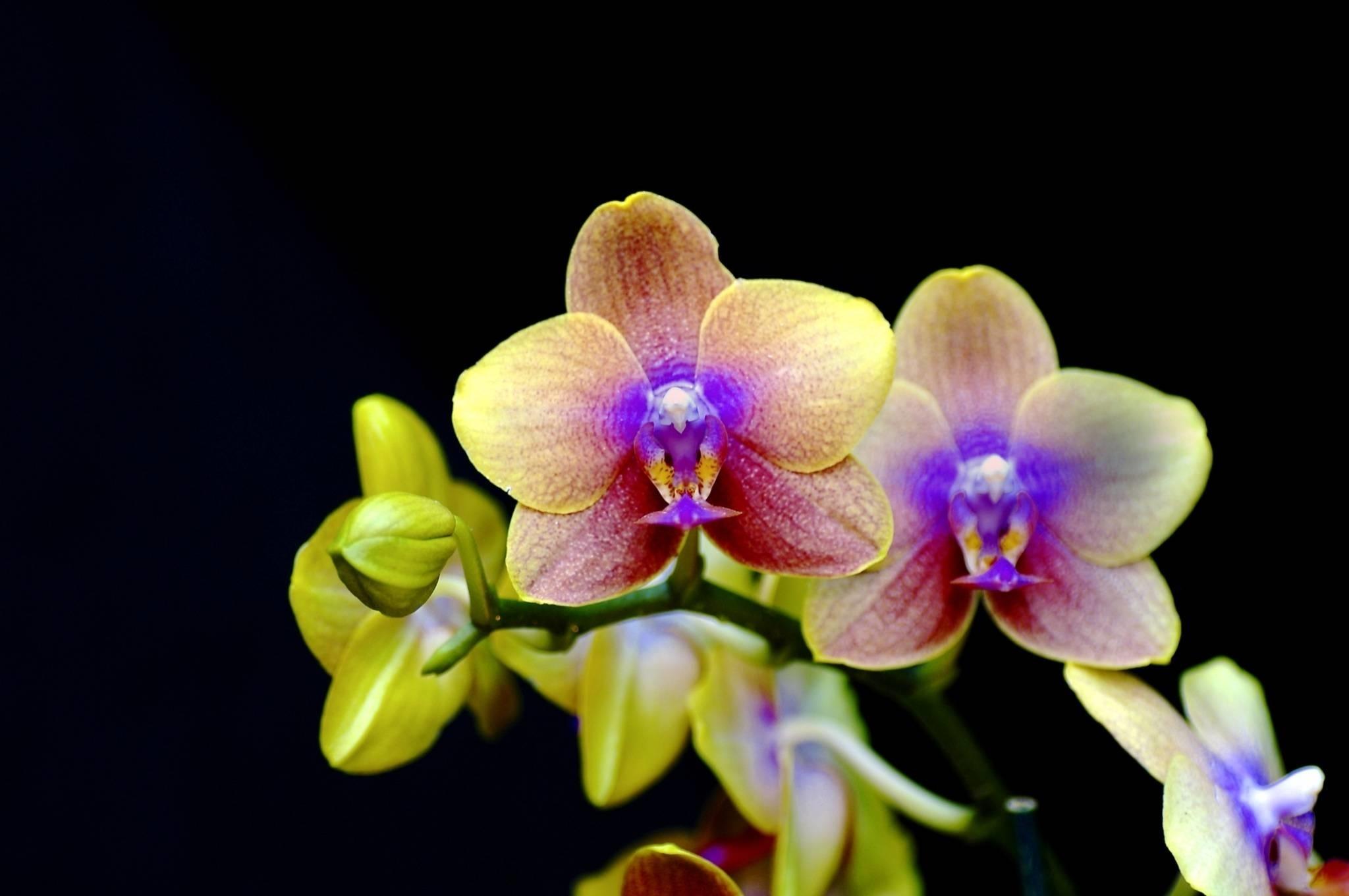 Orchidee in casa - Orchidee