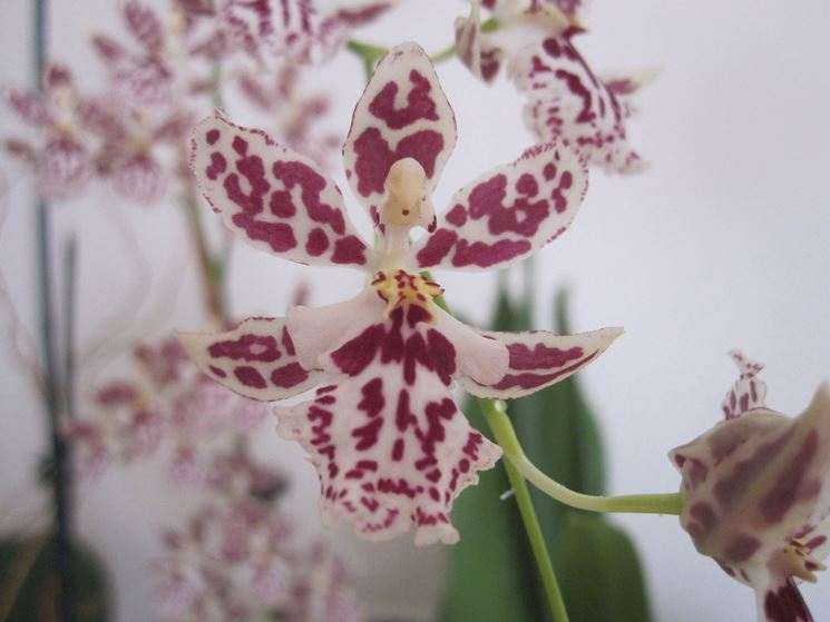 Variet� di oncidium variegata