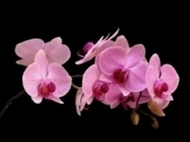 Orchidee phalaenopsis orchidee caratteristiche delle for Orchidea finta