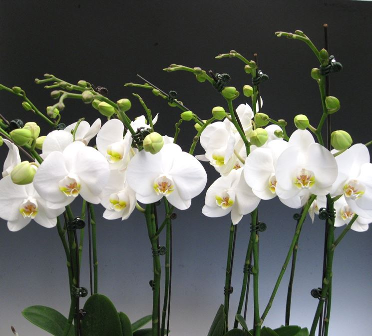 phalaenopsis bianche