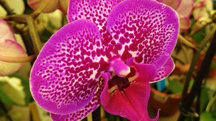 Phalaenopsis colorata
